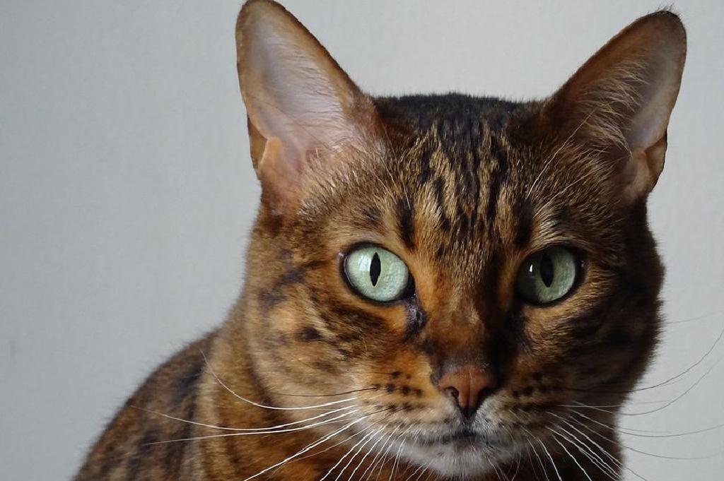 Կատուները ՝ ակտիվ «մարդասպաններ», ոչ թե գիշակերներ.նրանք  ավելի նախընտրում են մարդու միսը