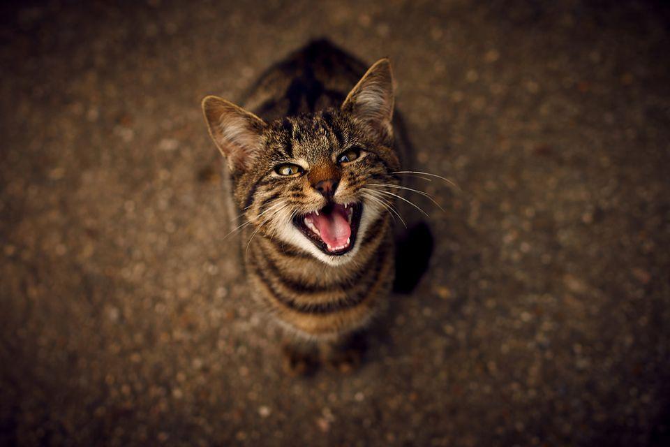 pisica își linge penisul